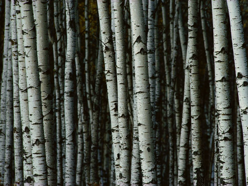 Fantastic How to Make a Birch Tree – Twig and Feather AH35